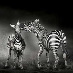 drawing mydrawing blackandwhite zebra petsandanimals dcwildlife dcwildanimals