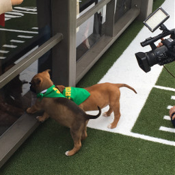 puppybowl superbowl biggame freetoedit