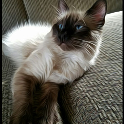 siamesecat siamesekitten sweetboy finley cats