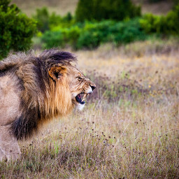 freetoedit lion wild animal wildlife