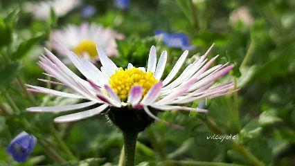 daisy spring naturephotography
