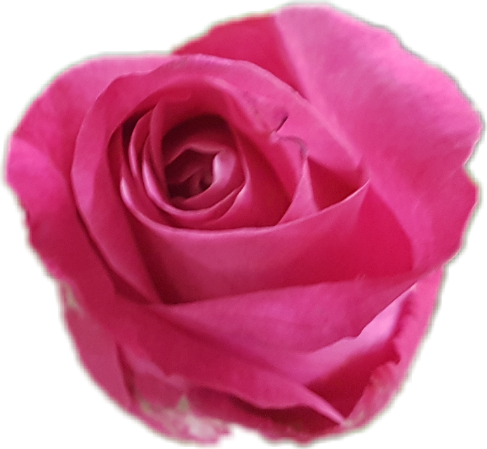 #rose #pink #flower #scpink