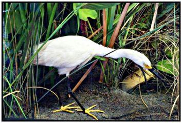 editbyme egret bird petsandanimals nature