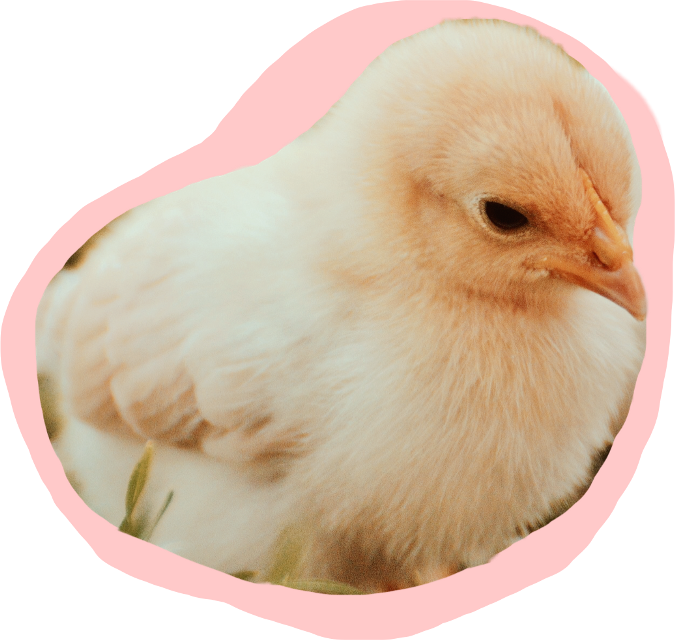 #chick #chicken #ftestickers #chickstickers #easter #FreeToEdit